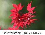 Japanese Maple Close To Latin...