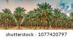 plantation of date palms.... | Shutterstock . vector #1077420797