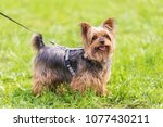 Yorkshire Terrier In The Park....