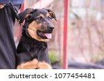 Portrait Of A Beauceron Dog...