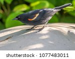 red winged blackbird agelaius... | Shutterstock . vector #1077483011