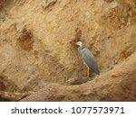 An Australian white-faced heron perched in dead wood against a dirt clay cliff