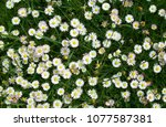 top view close up of spring or...   Shutterstock . vector #1077587381