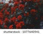 Red Roses. Beautiful Dark Red...