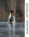 Small photo of Courtship behaviour of the Great Crested Grebe