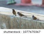 bird  eurasian tree sparrow ... | Shutterstock . vector #1077670367