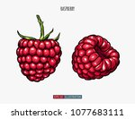hand drawn raspberry isolated.... | Shutterstock .eps vector #1077683111