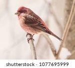 purple finch in winter   Shutterstock . vector #1077695999