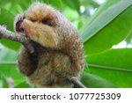 cuddly anteater sleeping in... | Shutterstock . vector #1077725309