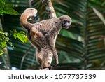 young northern muriqui ... | Shutterstock . vector #1077737339