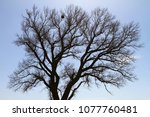 siluette of the branches of a...   Shutterstock . vector #1077760481