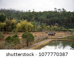pine forests at ban wat chan... | Shutterstock . vector #1077770387