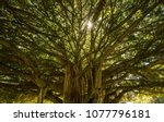 Sun Peeking Through Banyan Tree