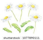 Hand Drawn Watercolor Camomile...