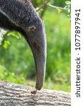 giant anteater  animal eating... | Shutterstock . vector #1077897941