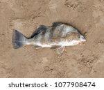 Fish  Black Drum  Pogonias...