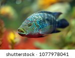 Small photo of Actinopterygii or ray-finned fishes