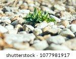 weeds between pebbles in the... | Shutterstock . vector #1077981917
