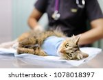 Stock photo female veterinary doctor puts the bandage on the cat after surgery sterilization for domestic pets 1078018397