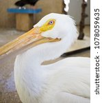 Small photo of Durand, Illinois / USA - December 19 2017: An educational pelican at a wildlife rehabilitation center in northern Illinois.