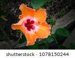 bright yellow flower of... | Shutterstock . vector #1078150244