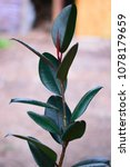 Small photo of rubber ficus gave an escape