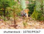 the siberian tiger  panthera... | Shutterstock . vector #1078199267