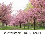 japanese cherry blossoms during ... | Shutterstock . vector #1078212611