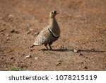 Small photo of double banded sandgrouse male
