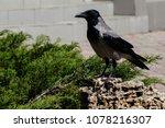 Grey Crow  Hooded Crow  Corvus...