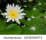 nymphaea lotus  water lily it... | Shutterstock . vector #1078296971