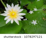 nymphaea lotus  water lily it... | Shutterstock . vector #1078297121