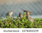 house sparrows  passer... | Shutterstock . vector #1078303259