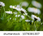 small daisies in grass   close... | Shutterstock . vector #1078381307