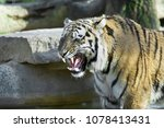 Small photo of Roar of a tiger