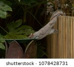 Squirrel Hanging From Fence...