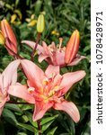 Small photo of Double Asiatic Hybrid Lily in garden, Moscow region, Russia