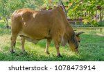 asian brown cow is in grassy...   Shutterstock . vector #1078473914