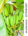 do not ripe bananas on a branch | Shutterstock . vector #1078484387
