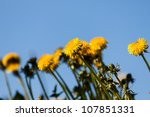 Yellow flowers, dandelion over blue sky - stock photo