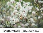 scruffy magnolia. shabby flower ...   Shutterstock . vector #1078524569