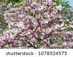 scruffy magnolia. shabby flower ...   Shutterstock . vector #1078524575