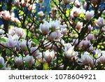 Lotus Flowered Magnolia Flowers ...