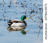 beautilful male mallard  anas... | Shutterstock . vector #1078614071