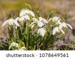 snowdrop spring flowers.... | Shutterstock . vector #1078649561