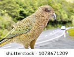 Small photo of Inquisitive Kea on a car, Milford Sound, New Zealand