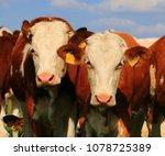 young cow portrait | Shutterstock . vector #1078725389