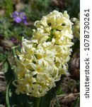 pale yellow hyacinth  close up   Shutterstock . vector #1078730261