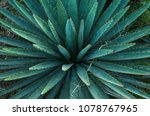 agave or maguey plant.    Shutterstock . vector #1078767965