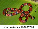 Coral Snake In The Rainforest...